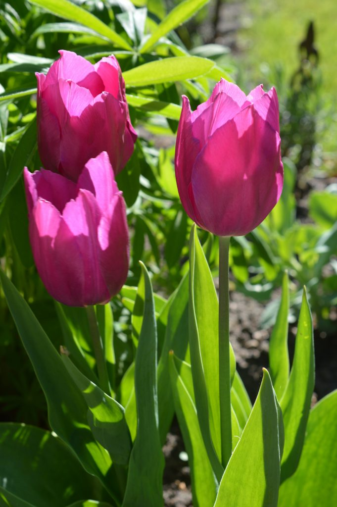 MAI2018-Tulpen-pink
