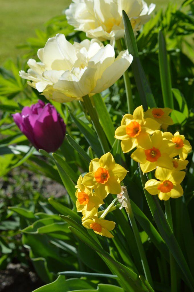 MAI2018-Tulpenbeet